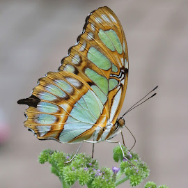 Malachite butterfly  by Paul Wyman - Animals Insects & Spiders