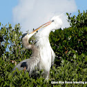 White Morph Great Blue Heron