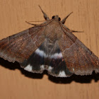 Semi-looper Moth