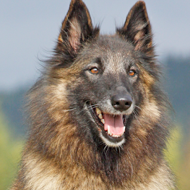 Devoted by Mia Ikonen - Animals - Dogs Portraits ( intelligent, obedient, belgian shepherd tervueren, finland, devoted,  )