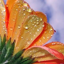 beautiful gerber by LADOCKi Elvira - Flowers Single Flower ( nature, color, 2014, flowers, garden )