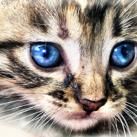 Blue Eyes by Daliana Pacuraru - Animals - Cats Kittens ( cat, kitten, blue, baby, portrait, eyes, young, animal )