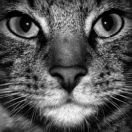 Look into my eyes !!! by Darren Watts - Animals - Cats Portraits ( cat, black and white )
