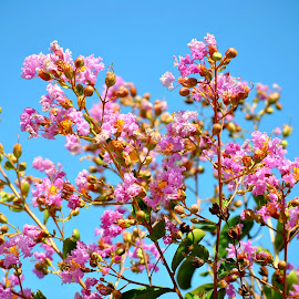Crape Myrtle by Sherri Murphy - Nature Up Close Trees & Bushes ( front yard flowers )