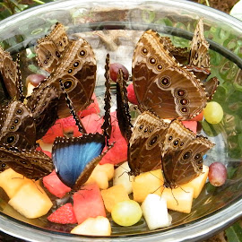 Butterflies enjoying fruit by Donna Probasco - Novices Only Wildlife (  )