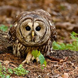 Barred Owl on ground by Dan Ferrin - Animals Birds ( bird, nature, barred owl, owl, wildlife, birds )