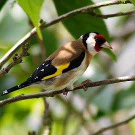 goldie by Stuart Watson - Animals Birds ( bird, gardon, british, goldfinch,  )
