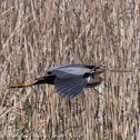 Purple Heron; Garza Imperial