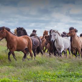 Running herd by Anna Guðmundsdóttir - Animals Horses ( icelandic horses, horses, íslenskir hestar, hestar, hestaferð, horse trip )