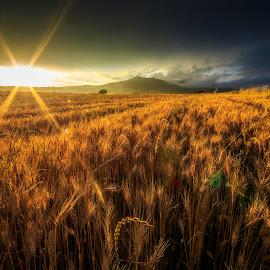 wheat by Gianluca Pisano - Landscapes Prairies, Meadows & Fields ( bales of hay, harvesting, harvest )