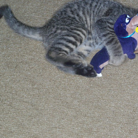 Mr. jinx loving his mr winkie toy by Cyndy Wentworth - Animals - Cats Kittens