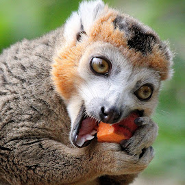 Lemur by Ralph Harvey - Animals Other Mammals ( wildlife, lemur, ralph harvey, bristol zoo, animal )