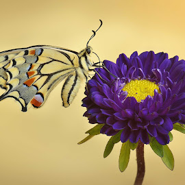 Armony by Mauro Maione - Animals Insects & Spiders ( macro, macaon, flower, purple, yellow, color )