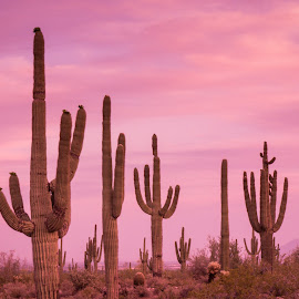 Saguaro Twilight by Karen Martin - Landscapes Deserts ( saguaro sunset twilight blue hour desert arizona cactus mountain )