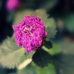 She is a wild flower... by Sowmya Beena - Flowers Single Flower