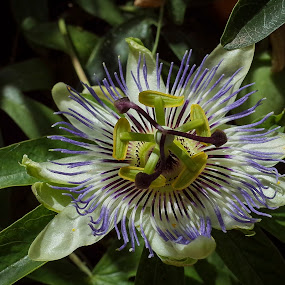 passiflora edulis by Boris Romac - Flowers Single Flower ( macro, nature, croatia, coguar, hvar, flowers, gr, ricoh )