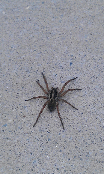 Pictures of Big Brown Spiders http://www.projectnoah.org/spottings/11393440
