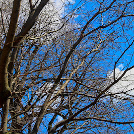 The East Wind by Ronnie Caplan - City,  Street & Park  City Parks ( clouds, leaning, sky, windy, blue, silhouette, white, trees, brown, branches )