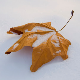Leaf by Tarik Jesenković - Nature Up Close Leaves & Grasses ( winter, autumn leaves, nature, autumn, snow, leaf )