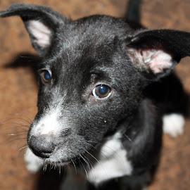 B&W by Amal Perera - Animals - Dogs Portraits ( black and white, innocent, white, blue eyes, dog, black )