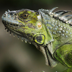 Iguana by Debra Martins - Animals Reptiles ( nature, iguana, wildlife, reptile, animal,  )