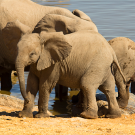 Elephant Calf by Mark Mücke - Animals Other ( etosha, conservation, elephant, calf, wildlife, elephant calf, africa, namibia )