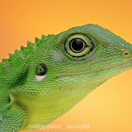 green crested lizard by Mohd Adli - Animals Reptiles ( lizard, agamid lizard, green crested lizard, bronchocela cristatella, mohd adli udin )