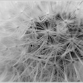 Dandelion-Pitypang by Zlatko Sarcevic - Black & White Macro ( macro, b&w, dandelion, black and white, flower,  )