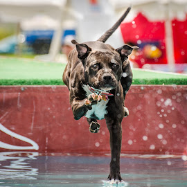 Walking on  water by Matt Mcclenahan - Animals - Dogs Running ( water, sporting dog, magic, walking, focused, dog, competition )