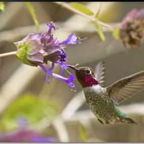 Hummingbird by Stephan Guenot - Animals Birds