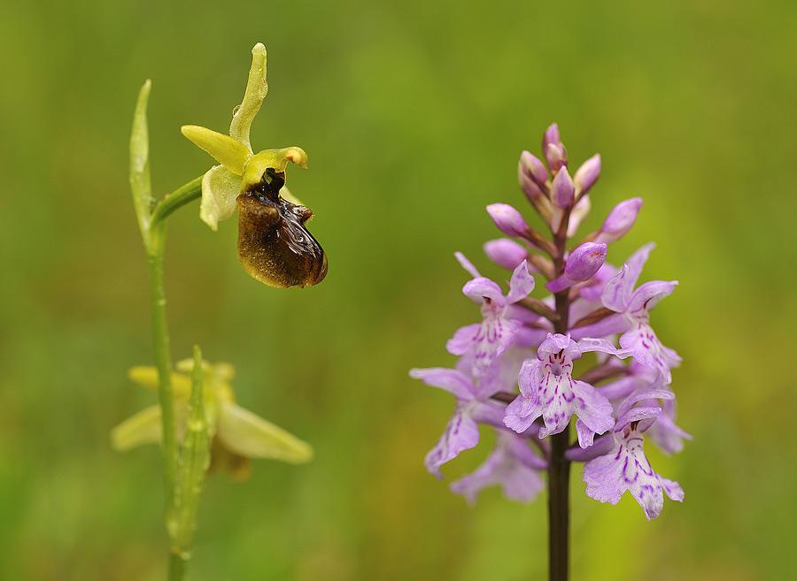 Inflorescencia laxa y pauciflora de Ophrys sphegodes e inflorescencia compacta y multiflora de Dactylorhiza fuchsii