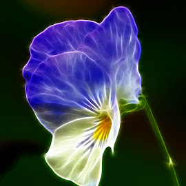 by Dipali S - Digital Art Things ( nature, blue, flora, white, pansy, flower )