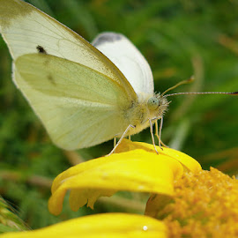 by Oleg T. - Novices Only Macro ( butterfly, insects, insect )