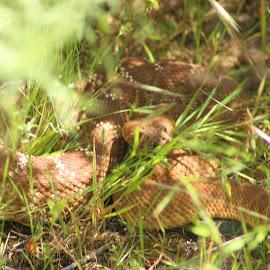 Hiding Rattlesnake by Matt Dittsworth - Animals Reptiles ( snake, venonm, hide, rattlesnake, brown, reptile, diamondback )
