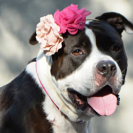 Michele Gambone Photography by Michele Gambone - Animals - Dogs Portraits ( love, pitbull, adopt, beautiful, flowers )