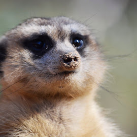 Meerkat by Carlien Oberholzer - Novices Only Wildlife ( animal portraiture, meerkat, animal face, africa, meerkat face )