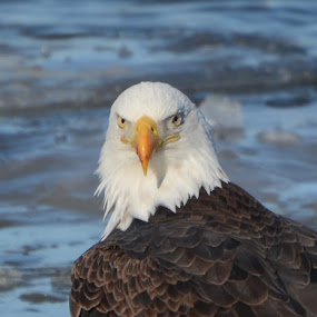Eagle Eyes by Stephanie Parmley Givens - Animals Birds (  )