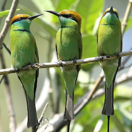 Green Bee-eaters by S Balaji - Animals Birds ( wild, s.balaji, animals, style, nature, greenbee-eaters, birds )