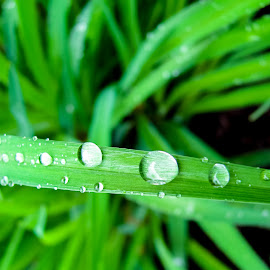 leaf water drop by Vaibhav Jain - Landscapes Mountains & Hills ( water, macro, grass, close shot, drops, leaf, garden, rain )