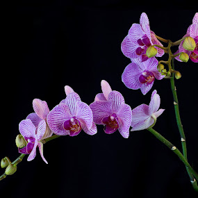 Orchids by Jacob Padrul - Flowers Flower Arangements ( beautiful flower, black background, gentle, orchids, beautiful )