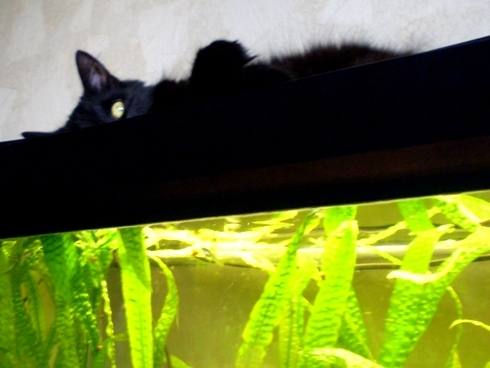 Katė ant akvariumo