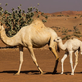 Camels in Hatta Desert by Tatjana GR0B - Animals Other