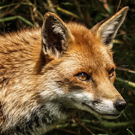 Red Fox by Garry Chisholm - Animals Other Mammals ( garry chisholm, red, fox, nature, wildlife )