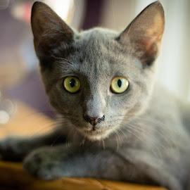 Gray kitten by Sandra Bratlie - Animals - Cats Kittens ( gray kitten, cat )