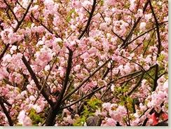 满眼都是樱花!