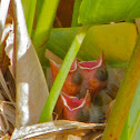 Red-winged Blackbird hatchlings