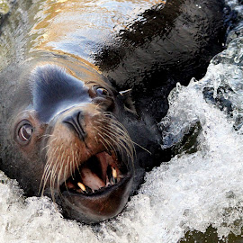 SeaLion by Ralph Harvey - Animals Sea Creatures ( wildlife, ralph harvey, longleat, sealion, animal )