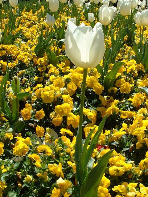Fotos Gratis  Naturaleza - Flores - Tulipán blanco