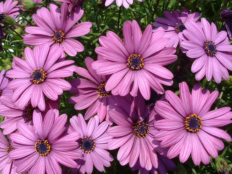 Fotos Gratis  Naturaleza - Flores - Margaritas violeta