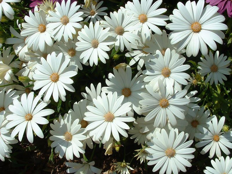 Fotos Gratis  Naturaleza - Flores - Margaritas blancas